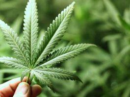 Em todo o país, 17 estados já legalizaram a maconha de forma recreativa (foto: Wikimedia)