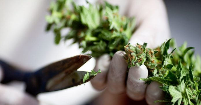 Maconha é lagalizada na Flórida para uso medicinal