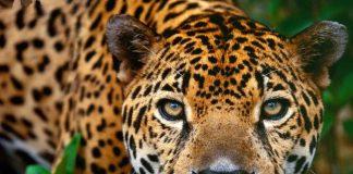 Cerca de 85% do hábitat original das onças-pintadas na Mata Atlântica já desapareceu