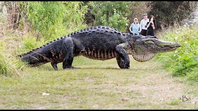 Jacaré gigantesco vive em parque da Flórida