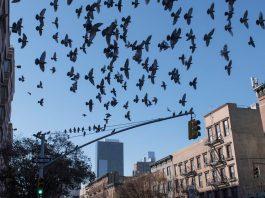 Marcelo Prates quer lançar o livro sobre as aves de NY