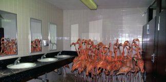 Flamingos protegidos em um banheiro do furacão Irma