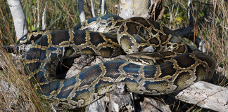 Estudo da FWCC analisa a quantidade de mércurio encontrada na carne dessas cobras (foto: Todd Pierson/flickr)