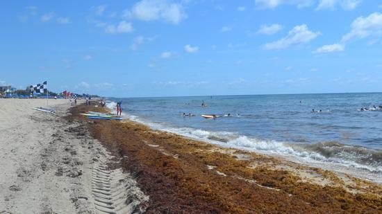 Algas invadiram a praia de Delray Beach FOTO Sunsentinel