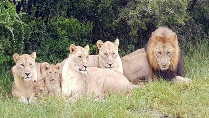 Leões devoraram caçadores