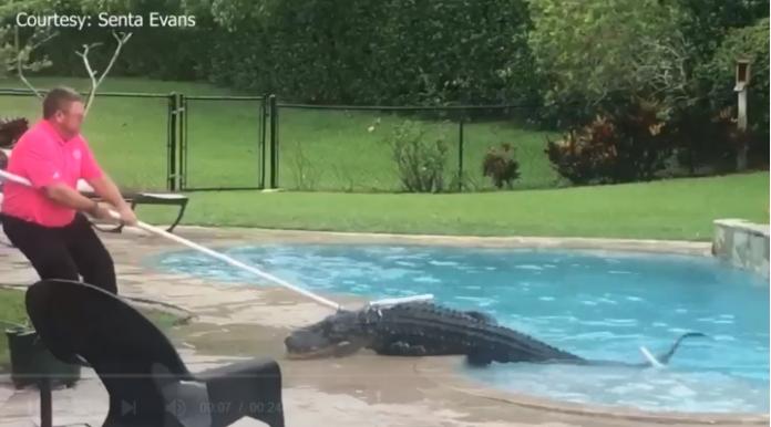 Agente do FWC retira jacaré de piscina em Palm Beach Gardens