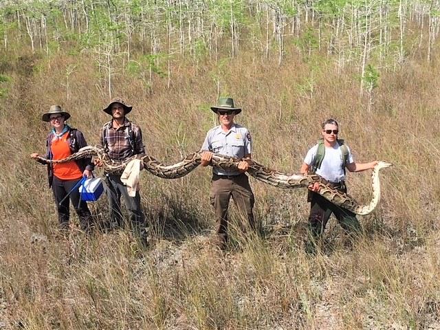 Cobra capturada em Everglades