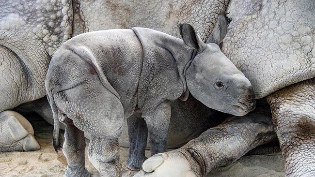 Rinoceronte de espécie rara foi concebido por meio de inseminação artificial FOTO Ron Magill - Zoo Miami