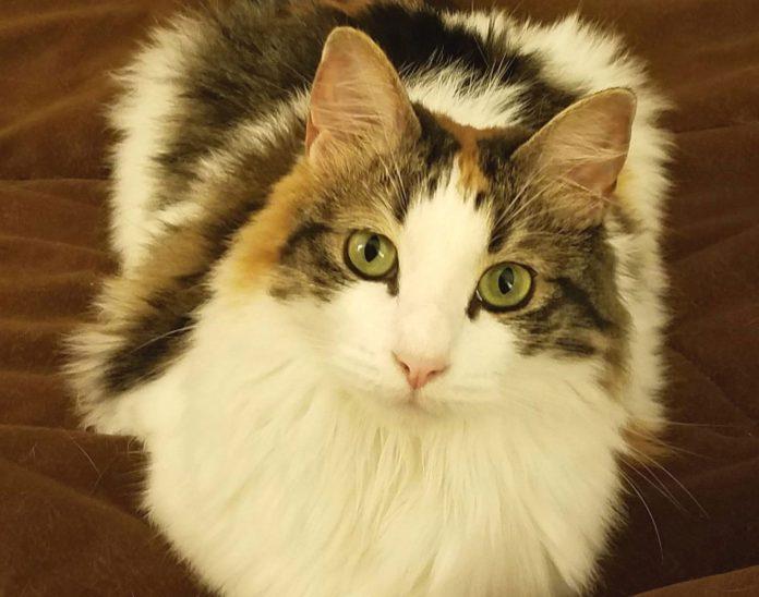 Vicky é a gatinha de estimação da equipe AcheiUSA