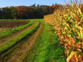 Plantação de milho (Foto: Flickr)