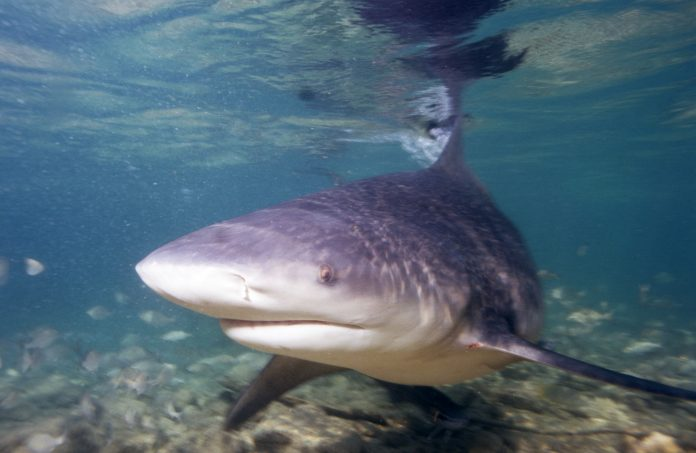 O jovem de Atlanta foi atacado por um tubarão-touro (foto: wikimedia)