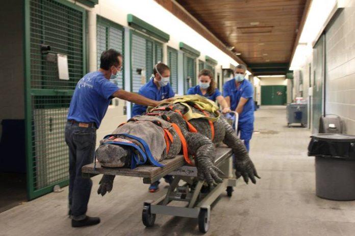 Bob sendo levado pelos veterinários para a sala de cirugia (foto: University of Florida's College of Veterinary Medicine, twitter )