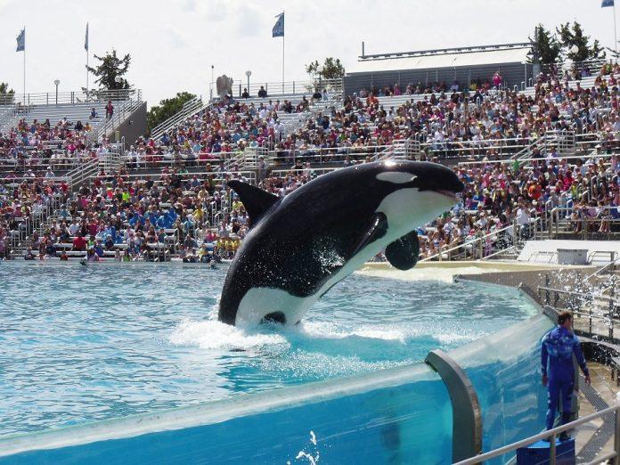 Apresentação com a baleia Orca, SeaWorld® Orlando (foto: pixabay)
