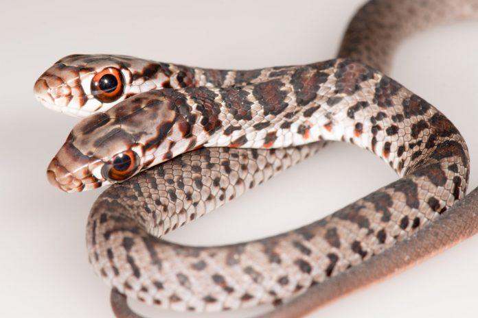 A cobra encontrada pela família em Palm Harbor foi batizada de