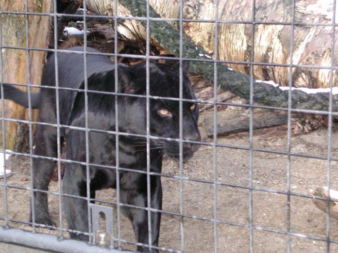 Leopardos pretos são considerados animais raríssimos (foto: flickr)