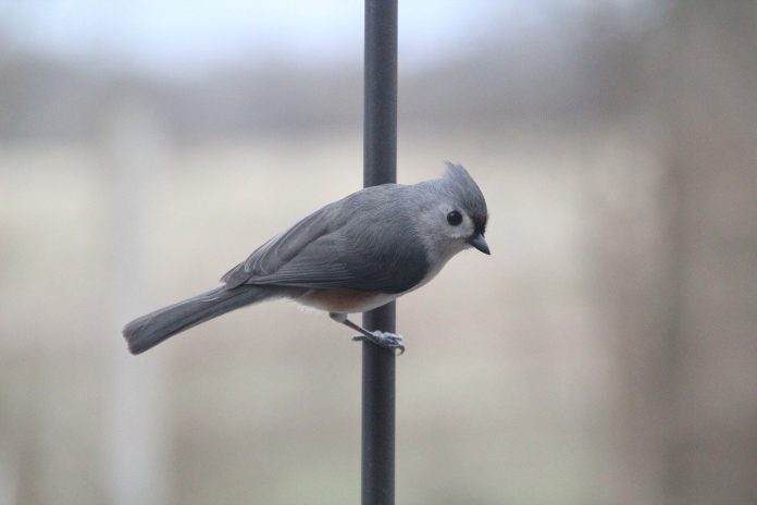 As aves nos EUA são protegidas pelo tratado de 1918 - Migratory Bird Treaty Act (foto: pixabay)