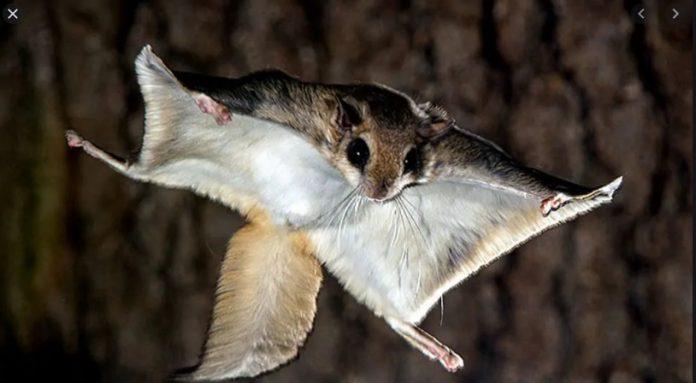 Os esquilos voadores são protegidos por lei estadual sobre animais exóticos (oto: FFWCC)