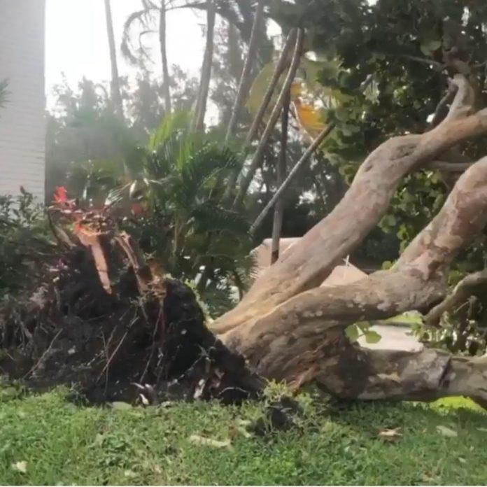 A força dos ventos derrubou uma árvores em Pompano Beach (foto enviada ao AcheiUSA por uma leitora)