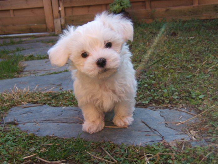 O cachorrinho tem dois meses e meio de vida e é da raça maltês (foto: wikimedia)