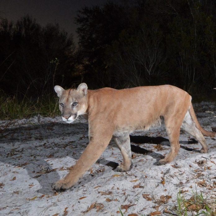 Estima-se que não mais de 230 desses animais habitem o estado (foto: FWCC)