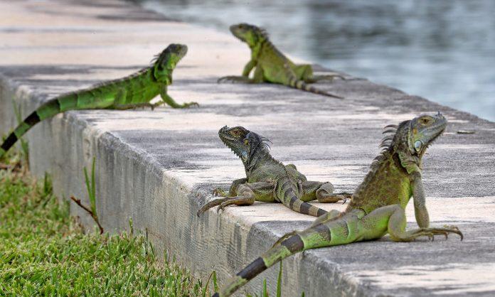 Invasão de iguanas no Sul da Flórida preocupa moradores (Foto: SunSentinel)