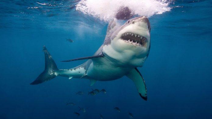10 pessoas morreram en 2020 após serem mordidas por tubarões (foto: pixabay)