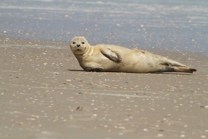 Mamífero foi visto descansando na areia da praia de Ponte Vedra Beach, em Jacksonville (foto: NOAA)