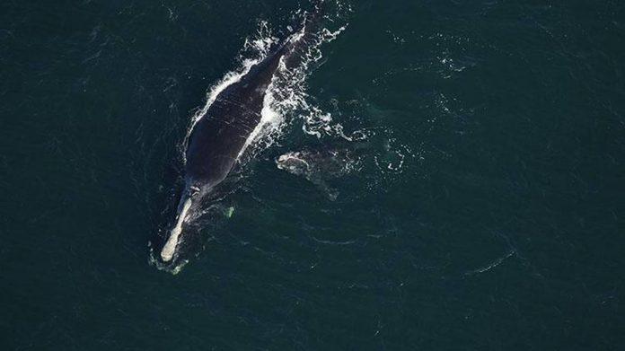 A baleia Infinity, de 19 anos, e seu filhote fotografados em janeiro em Amelia Island, Flórida (foto: NOAA)