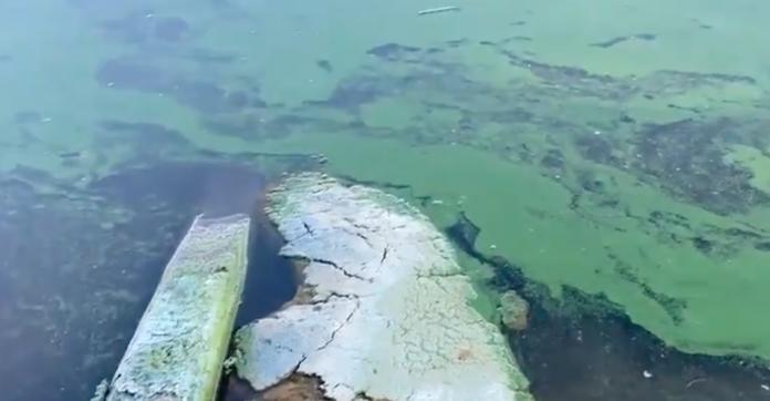A alga tóxica Blue-green algae no Lago Okeechobee em Pahokee, FL (foto: Twiter)