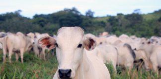 Casos de vaca louca são atípicos e estão prejudicando as exportações brasileiras (Foto: Ministério da Agricultura)